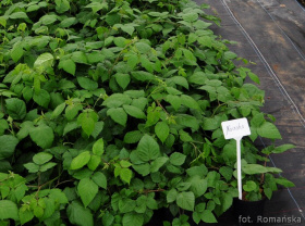 blueberry seedlings blackberry berry cranberry fruits plants Poland